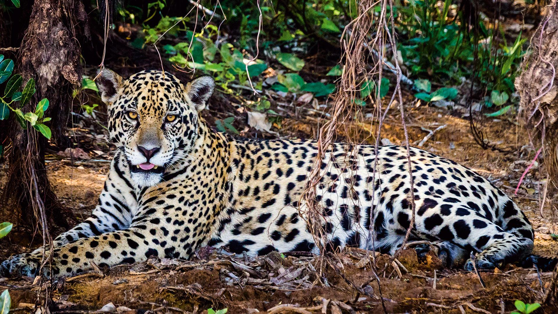 Der Ruf des Jaguars